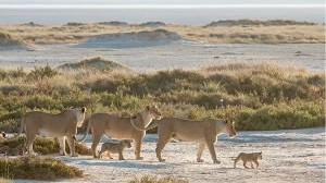 Etosha's Big Cats in Winter