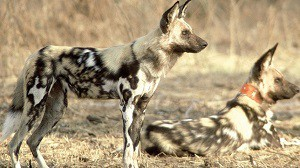 The Painted Hunting Dog