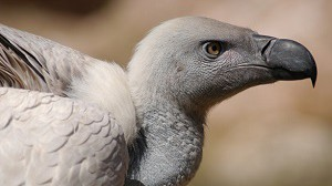 Namibia's Vulture Species in a Crisis