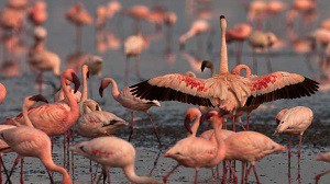 The Flamingo Species